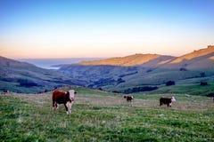 Kor som betar på gräsfältet av Nya Zeeland royaltyfria foton