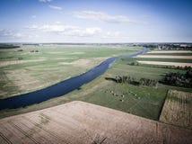 Kor som betar på gräsplan, betar vid en flod Royaltyfri Bild