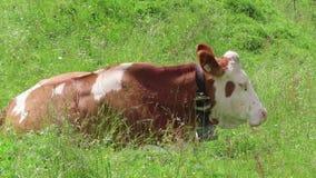 Kor som betar på jordbruksmark i Tirol Schoenachtal dal i österrikiska fjällängar arkivfilmer