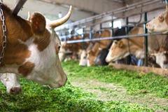 Kor som binds upp i stallen, äter grön alfalfa royaltyfria foton
