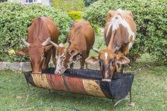 Kor som dricker från en ho arkivfoto