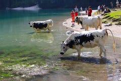 Kor som dricker i vattnet av sjön Braies Lago di Braies, Dolomites, Italien royaltyfri bild