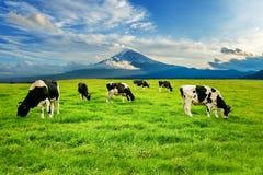 Kor som framme äter frodigt gräs på det gröna fältet av det Fuji berget, Japan royaltyfria foton