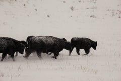 Kor som går in i snön, stormar Arkivbild
