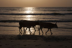 Kor som går på stranden arkivbild