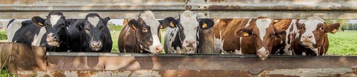 Kor som i rad står arkivfoton