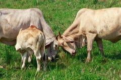 Kor som knuffar huvud Fotografering för Bildbyråer