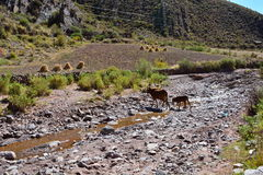 Kor som korsar en flod i Bolivia royaltyfri foto