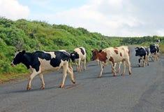 Kor som korsar vägen Arkivfoto