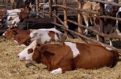 Kor som står i en stall Royaltyfri Bild
