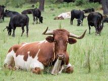 Kor som vilar i gräset i skogen Arkivfoton