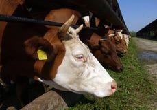 Kor står i en stall och äter ett gräs Arkivbild