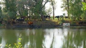 Kor står i vattnet på en varm dag stock video