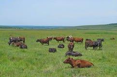 Kor, tjurar och kalvar som vilar och betar i en äng royaltyfri bild