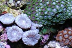 koraal stock foto's