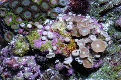 koraal stock afbeelding