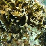 koraal Royalty-vrije Stock Foto