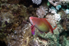 Koraal en lyretail anthias Royalty-vrije Stock Foto's