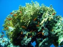 Koraal en oranje vissen Stock Foto's