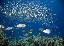 Koraal en vissen stock foto