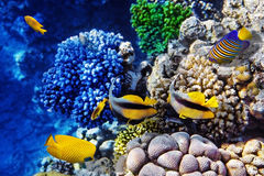 Koraal en vissen in het Rode Overzees. Egypte Stock Afbeelding