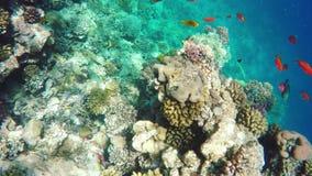 Koraal en vissen in het Rode Overzees Egypte stock video