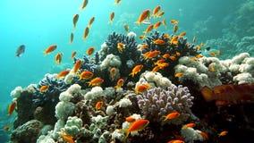Koraal en vissen in het Rode Overzees, Egypte stock footage