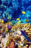 Koraal en vissen in het Rode Overzees. Egypte, Afrika Stock Foto