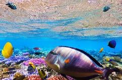 Koraal en vissen in het Rode Overzees. Egypte, Afrika. Stock Afbeeldingen