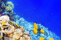 Koraal en vissen in het Rode Overzees. Egypte, Afrika. Stock Foto