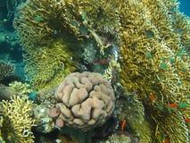 Koraal en vissen van Rode overzees Royalty-vrije Stock Afbeelding