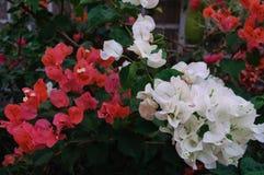 Koraal en witte bougainvillea Royalty-vrije Stock Foto's