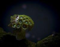 Koraal in marien aquarium Stock Afbeelding
