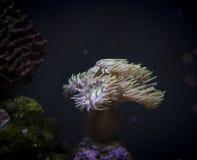 Koraal in marien aquarium Royalty-vrije Stock Foto's