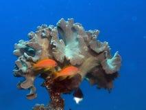 Koraal met rode vissen Stock Foto