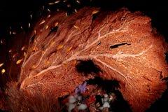 Koraal, Papoea Nuova Guinea Stock Foto's
