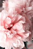Koraal van de bloemblaadjesbloemen van de pioenenpioen het roze mooie stock fotografie
