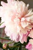 Koraal van de bloemblaadjesbloemen van de pioenenpioen het roze mooie stock foto's