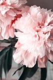 Koraal van de bloemblaadjesbloemen van de pioenenpioen het roze mooie royalty-vrije stock afbeelding