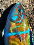Koraal van de overladen Wrasse-vissen het tropische kleurrijke ertsader stock foto