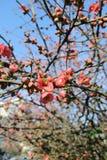 Koraalbloemen op een boomtak Stock Fotografie