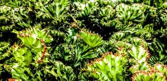 Koraalcactus - het isn& x27; t een cactus of gemaakt van koraal Dit Frankenstein- zoals geënte installatie is vreemde, modieuze s royalty-vrije stock afbeelding