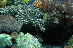 Koraalrif. Stock Foto