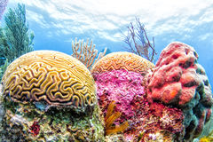 Koraalrif, Belize Stock Fotografie