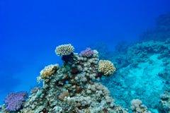 Koraalrif bij de bodem van tropische overzees, onderwater stock foto's