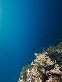 Koraalrif en blauwe achtergrond Stock Afbeeldingen