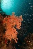 Koraalrif en glassfish in het Rode Overzees. royalty-vrije stock fotografie