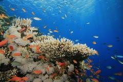 Koraalrif en Tropische Vissen stock afbeeldingen