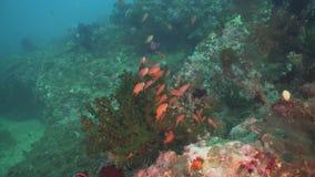 Koraalrif en Tropische Vissen Filippijnen, Mindoro stock footage
