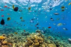 Koraalrif en tropische vissen in Rode Overzees Stock Afbeeldingen